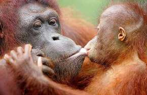 Os Orangotangos deSumatra